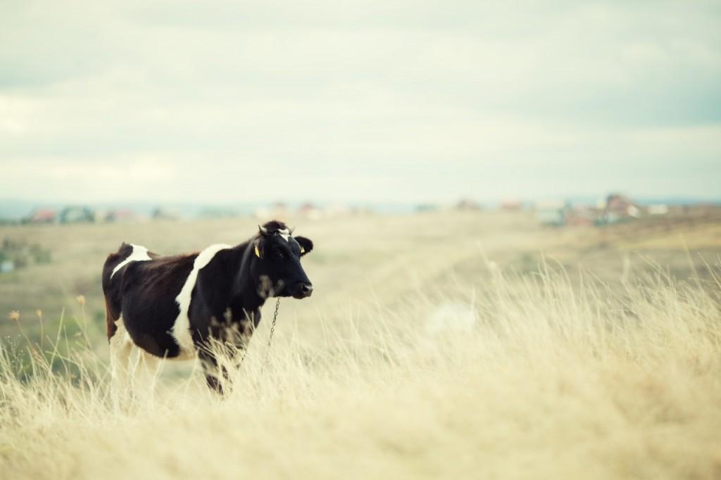¿De dónde proviene Immunocal?¿Qué relación tiene con la Carne?